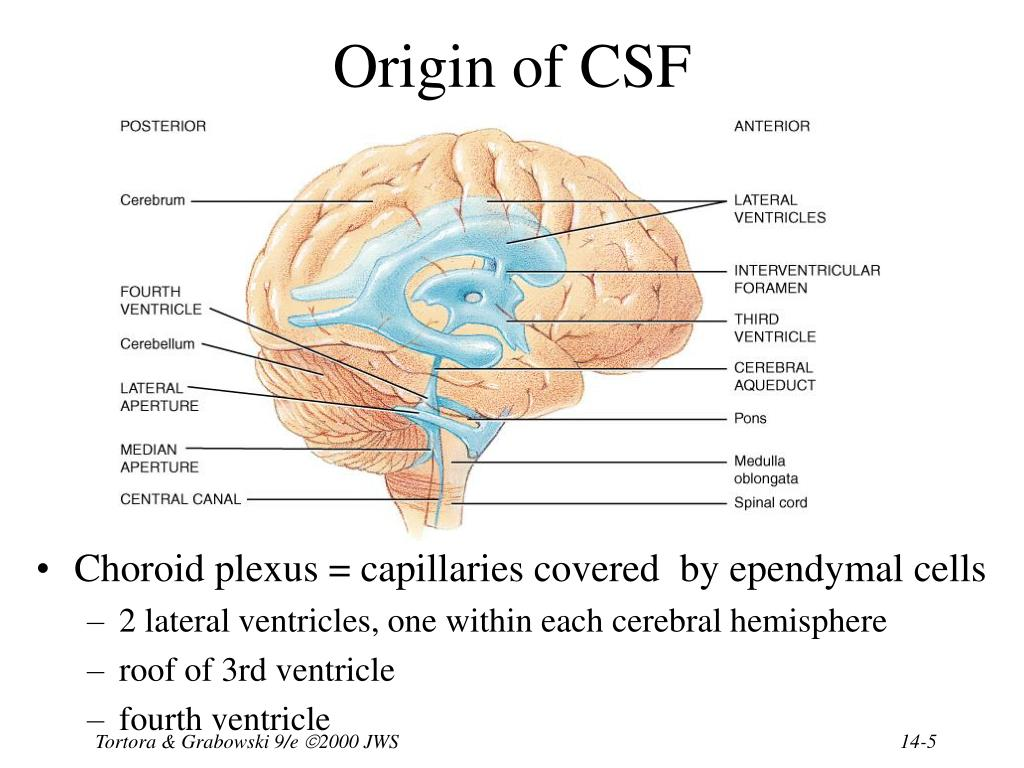 Ppt Chapter 14 The Brain And Cranial Nerves Powerpoint
