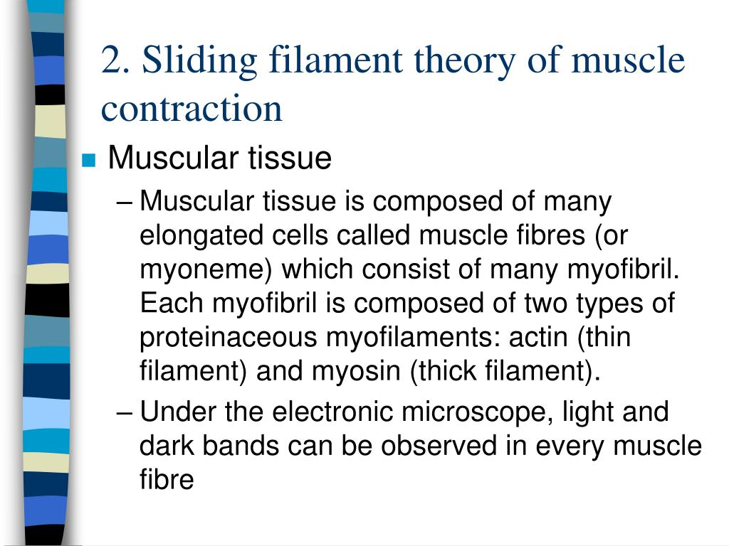 2 sliding filament theory of muscle contraction l.