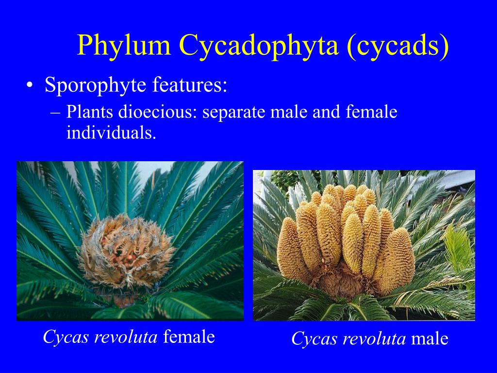 PPT - Kingdom Plantae: Gymnosperms PowerPoint Presentation ...
