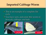 imported cabbage worm