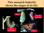 this monarch butterfly shows the stages of its life