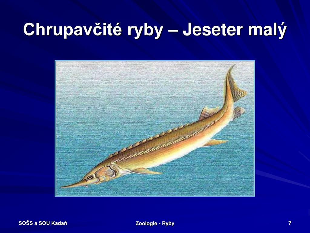 Chrupavčité ryby – Jeseter malý