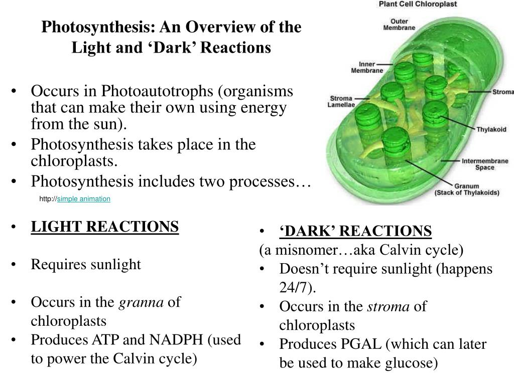 an overview of photosynthesis and chloroplast
