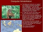 orangutan rehabilitation
