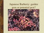 japanese barberry garden gem or potential pest