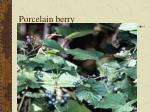porcelain berry47