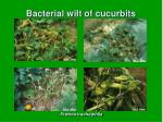 bacterial wilt of cucurbits