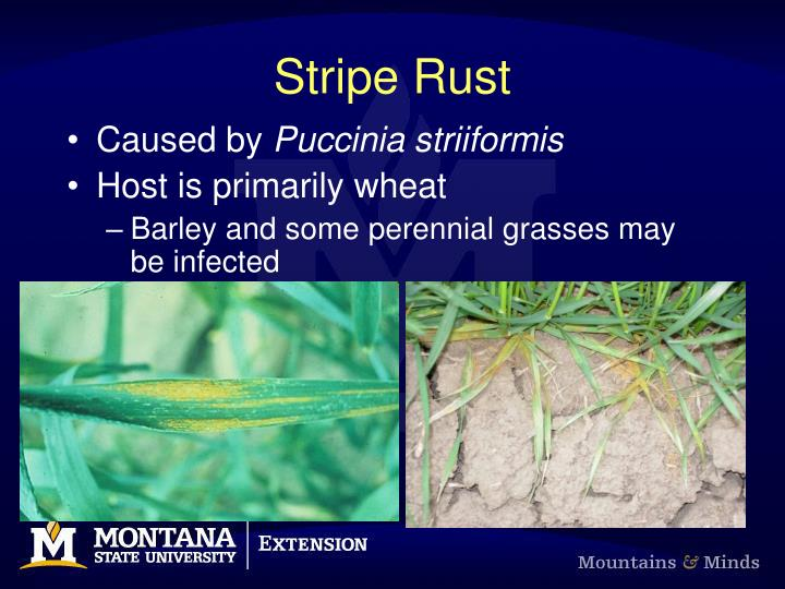 stripe rust n.