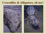 crocodiles alligators oh my