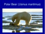 polar bear usinus maritimus