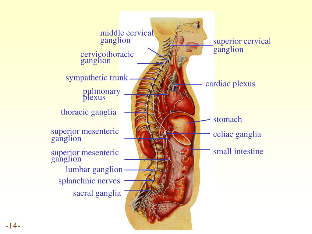 middle cervical ganglion