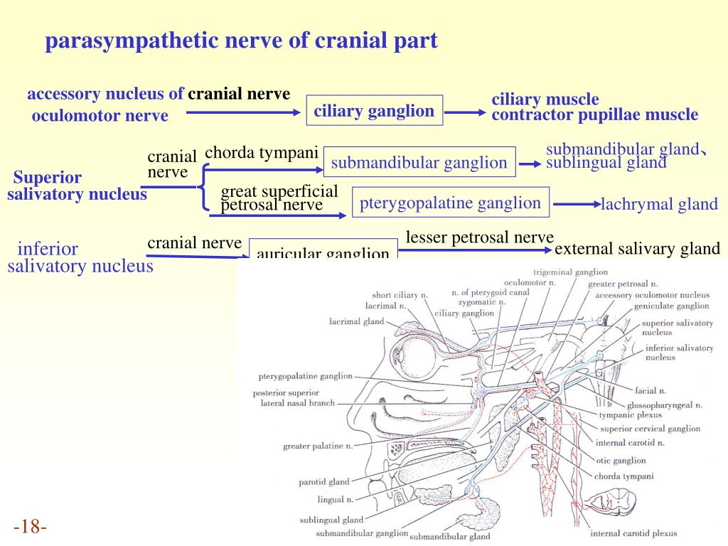 parasympathetic nerve of cranial part