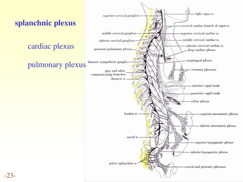 splanchnic plexus