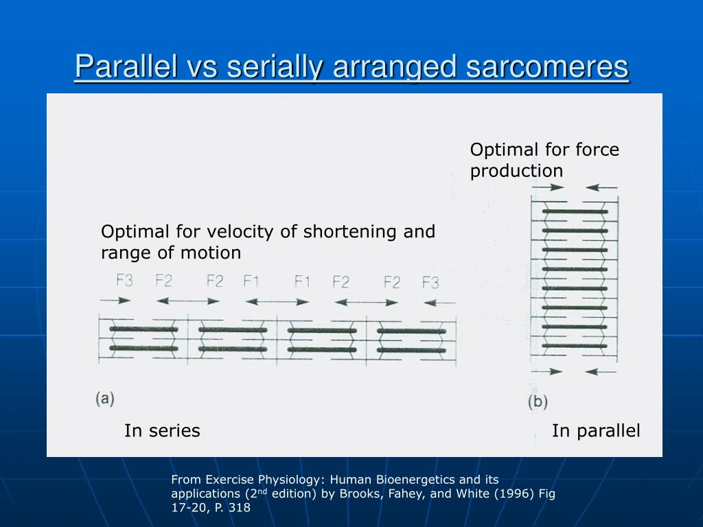 Parallel vs serially arranged sarcomeres