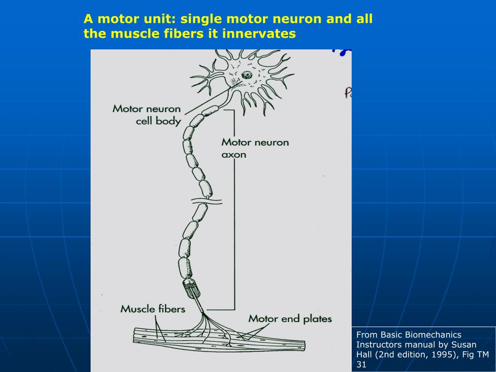 A motor unit: single motor neuron and all the muscle fibers it innervates