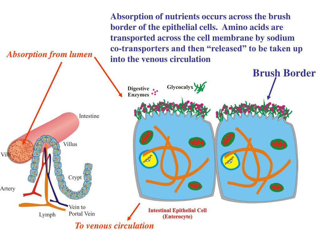 "Absorption of nutrients occurs across the brush border of the epithelial cells.  Amino acids are transported across the cell membrane by sodium co-transporters and then ""released"" to be taken up into the venous circulation"