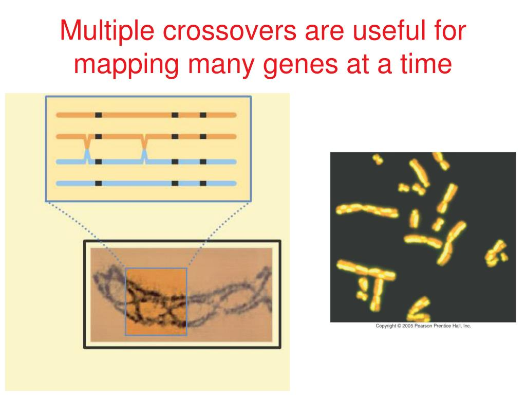 Multiple crossovers are useful for mapping many genes at a time