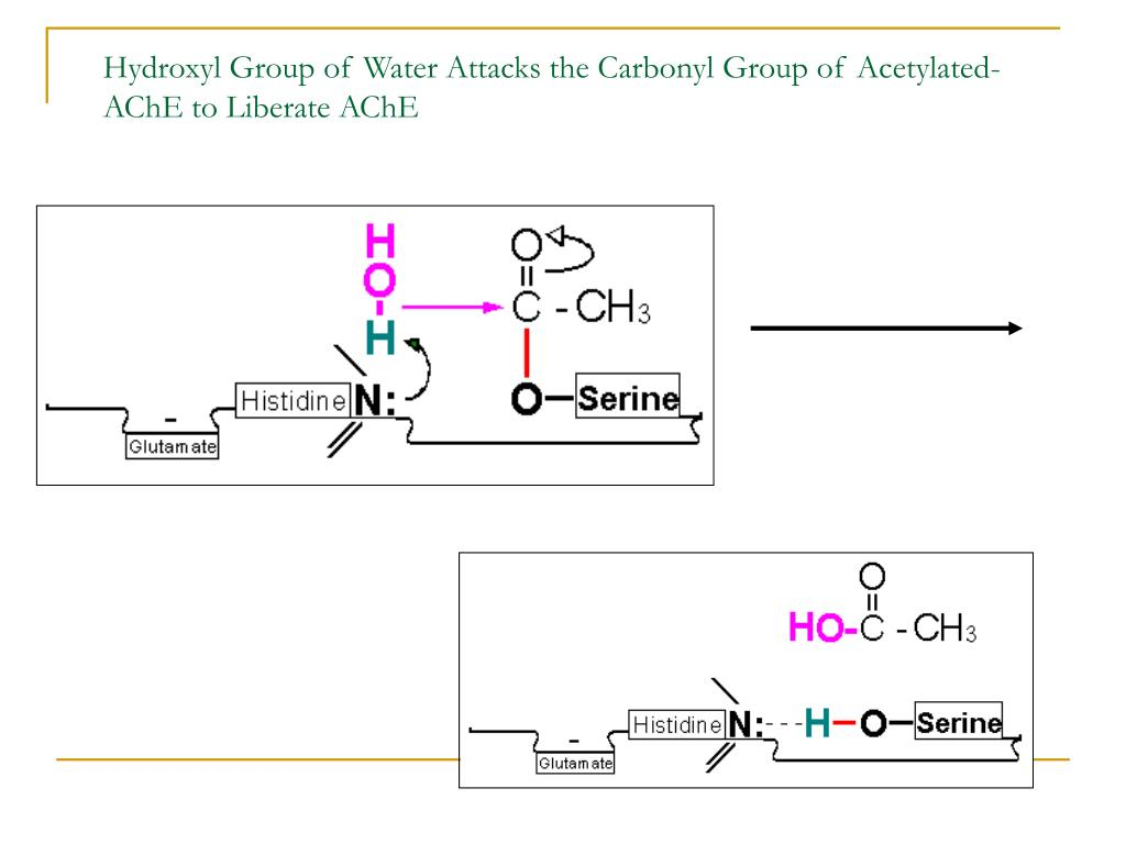 Hydroxyl Group of Water Attacks the Carbonyl Group of Acetylated-AChE to Liberate AChE