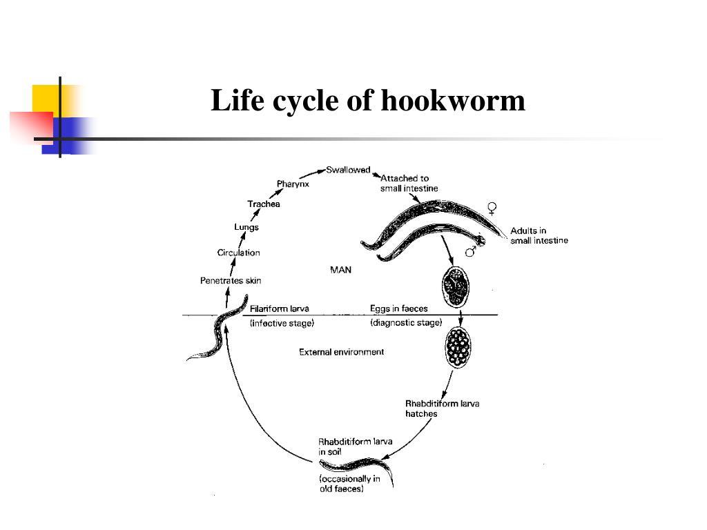 PPT - Hookworms PowerPoint Presentation - ID:421012