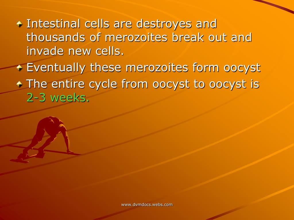 Intestinal cells are destroyes and thousands of merozoites break out and invade new cells.