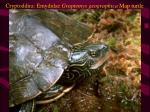 cryptoddira emydidae graptemys geographica map turtle