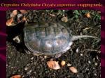 cryptodira chelydridae cheydra serpentinas snapping turtle