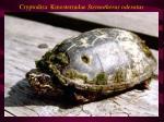 cryptodira kinosternidae sternotherus oderatus
