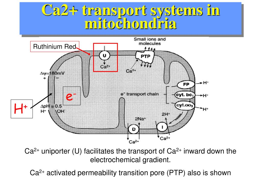 Ca2+ transport systems in mitochondria