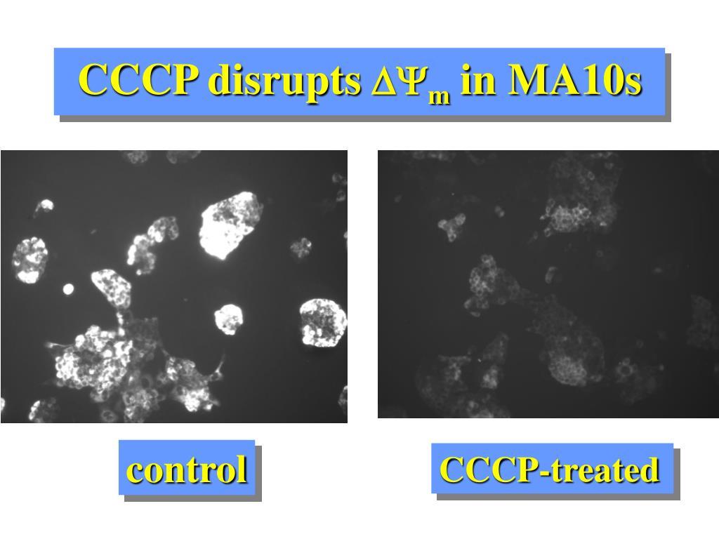 CCCP disrupts