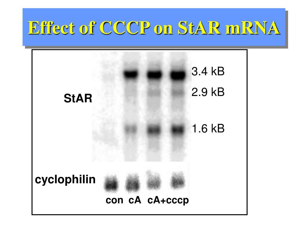 Effect of CCCP on StAR mRNA