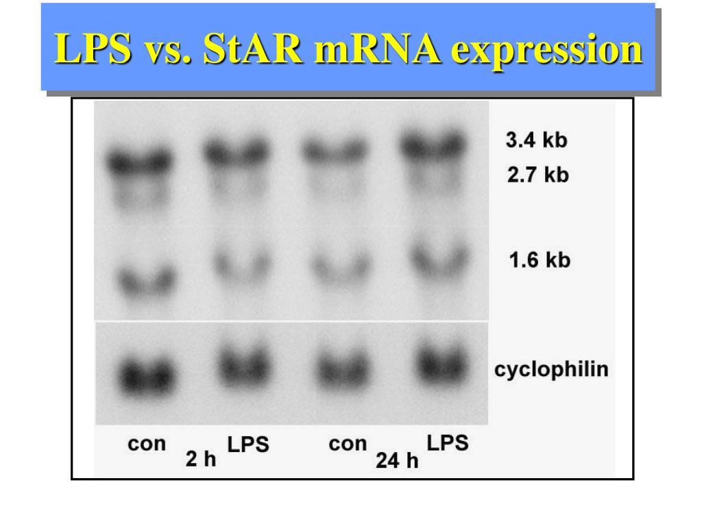 LPS vs. StAR mRNA expression