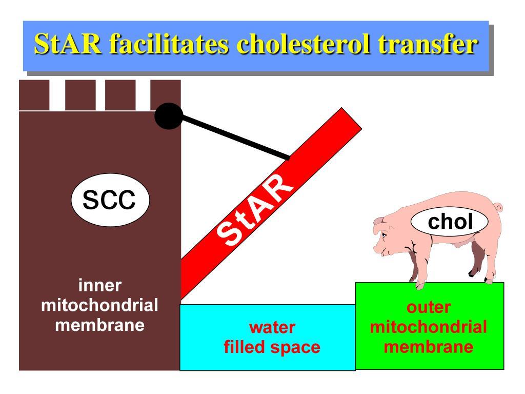 StAR facilitates cholesterol transfer