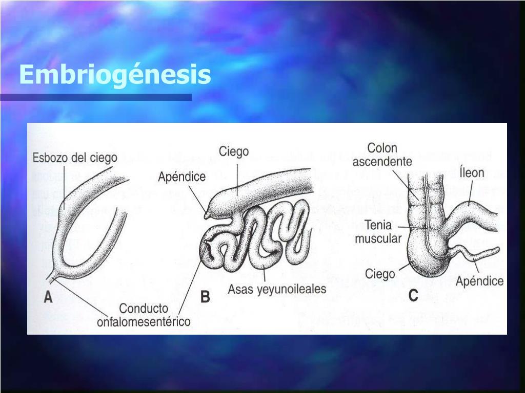 Embriogénesis