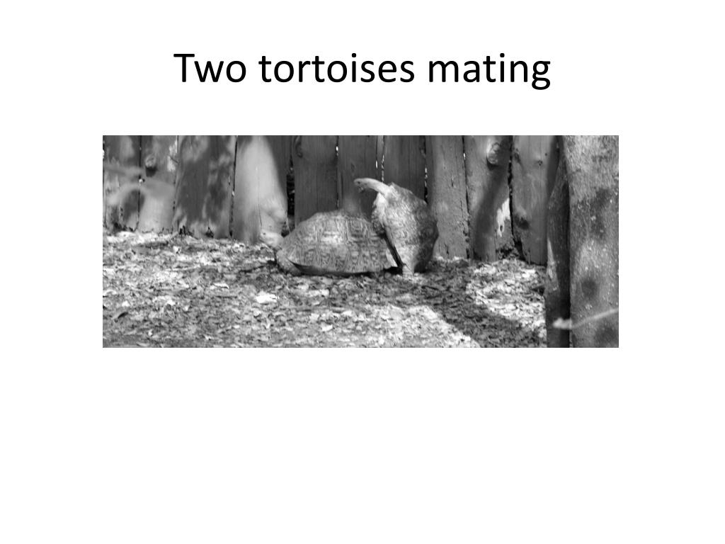 Two tortoises mating