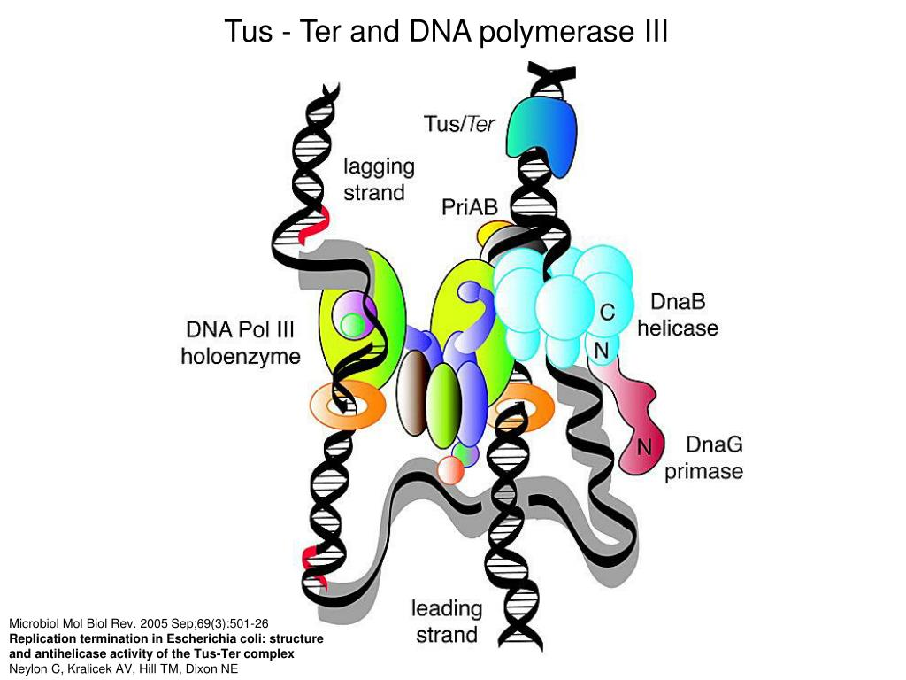 Tus - Ter and DNA polymerase III