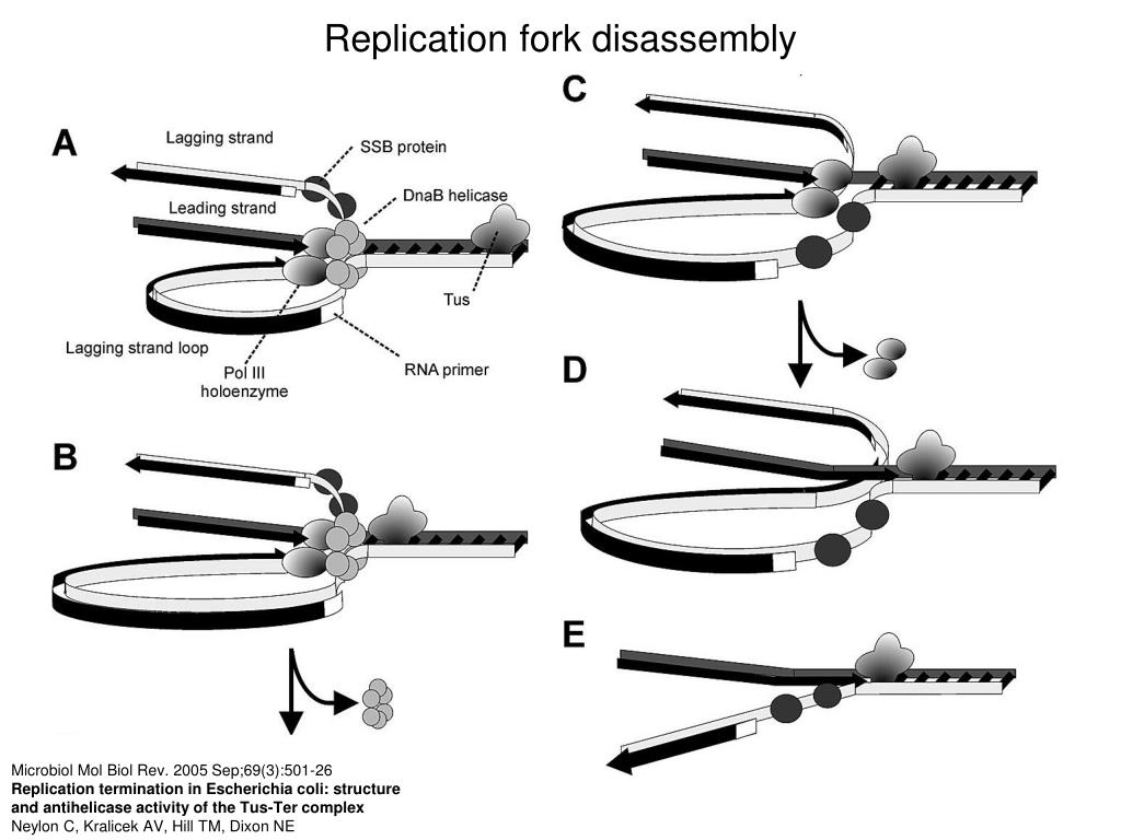 Replication fork disassembly