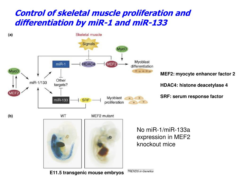 Control of skeletal muscle proliferation and differentiation by miR-1 and miR-133