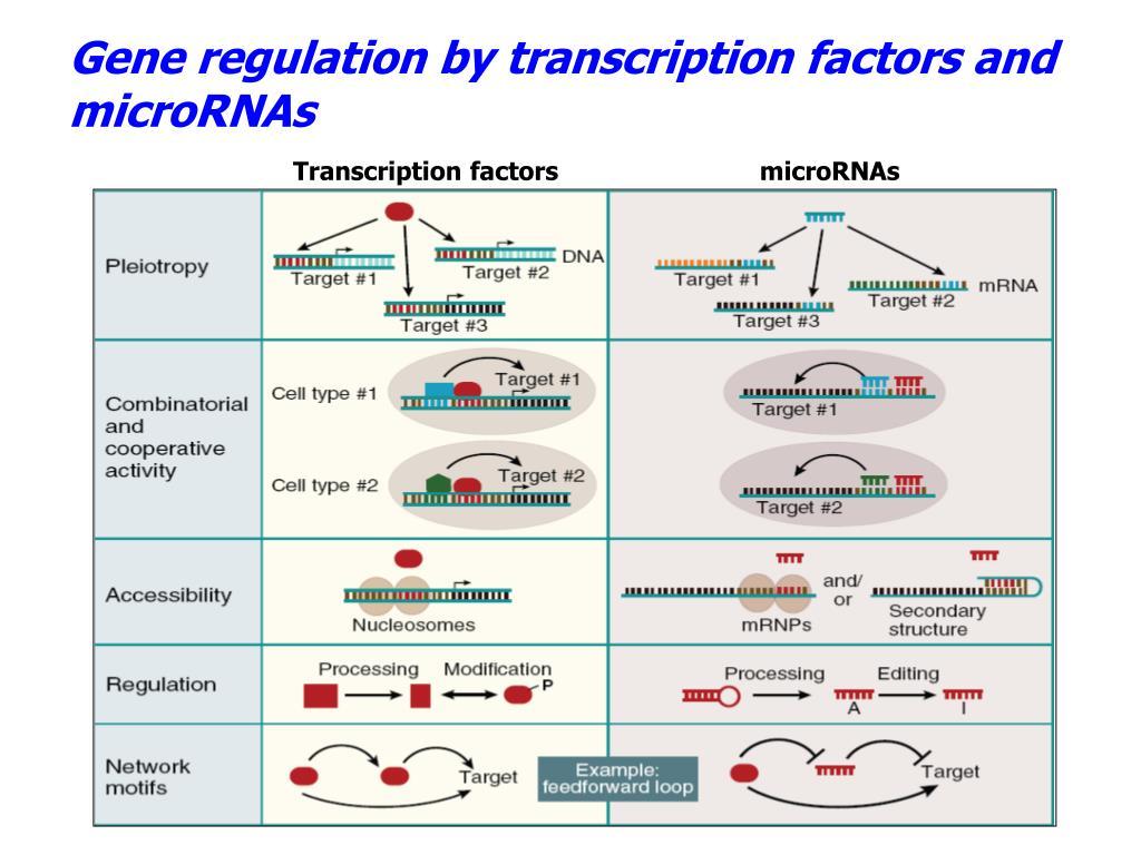 Gene regulation by transcription factors and microRNAs