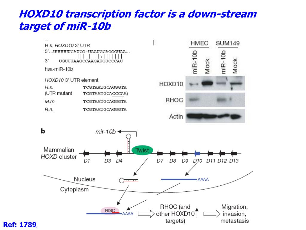 HOXD10 transcription factor is a down-stream target of miR-10b