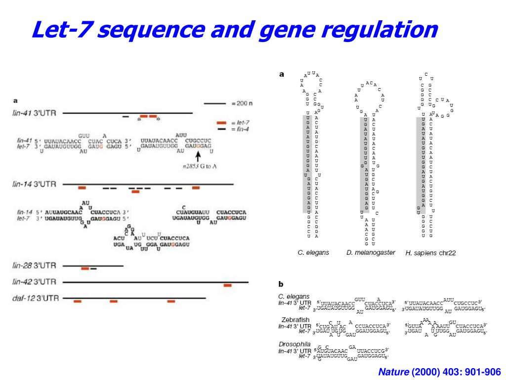 Let-7 sequence and gene regulation