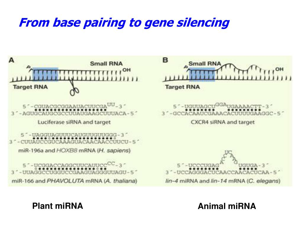 From base pairing to gene silencing