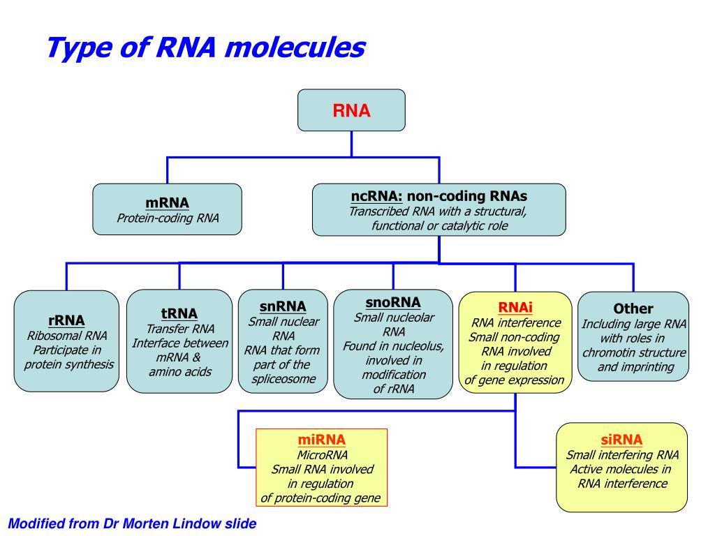 Type of RNA molecules