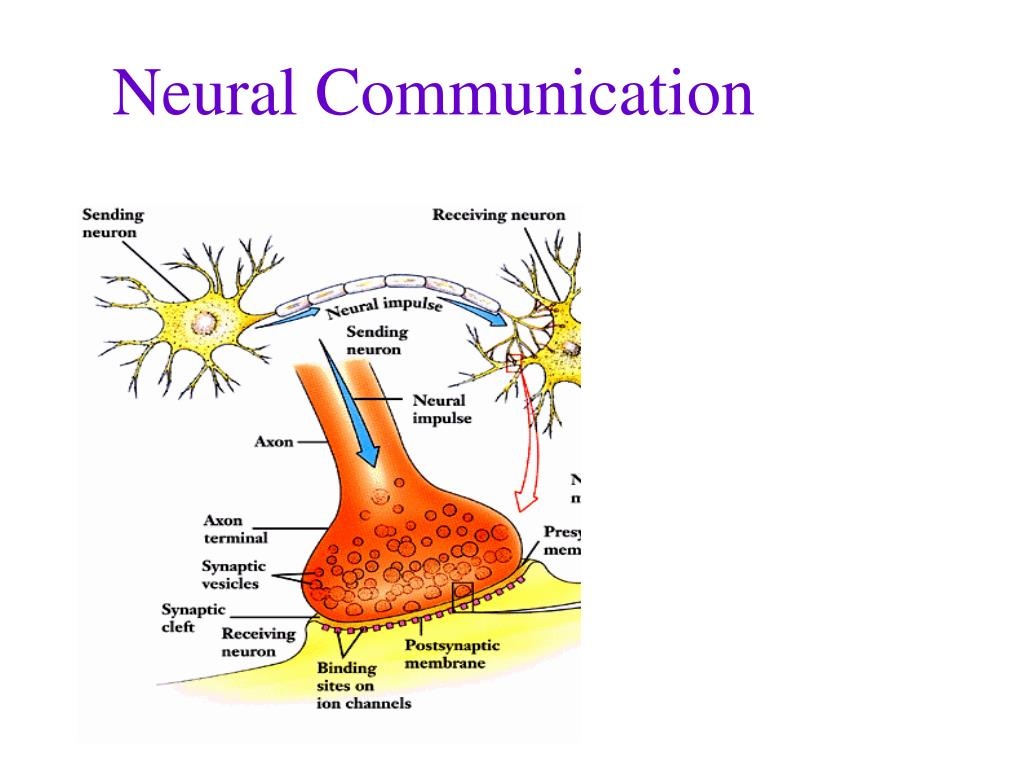 neuronal communication How can the answer be improved.