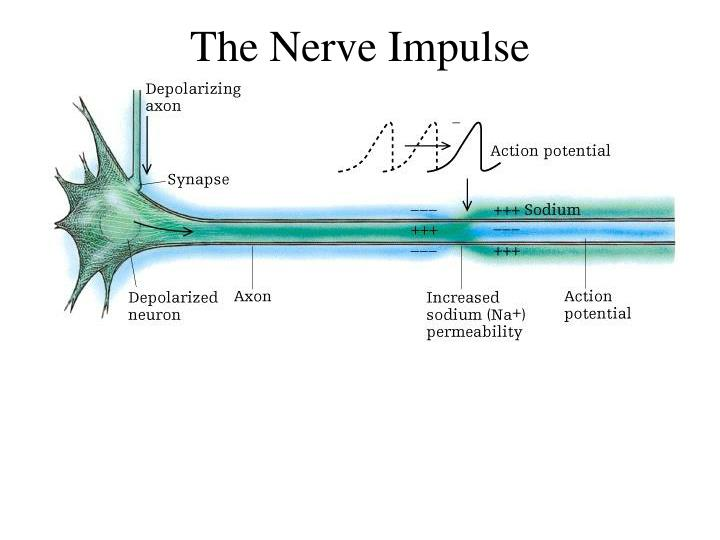 full free lab report for neurophysiology of nerve impulses computer simulation A depolarization is any change in a neuron that makes it more positive than resting potential, but an action potential only occurs when the depolarization reaches the threshold level.