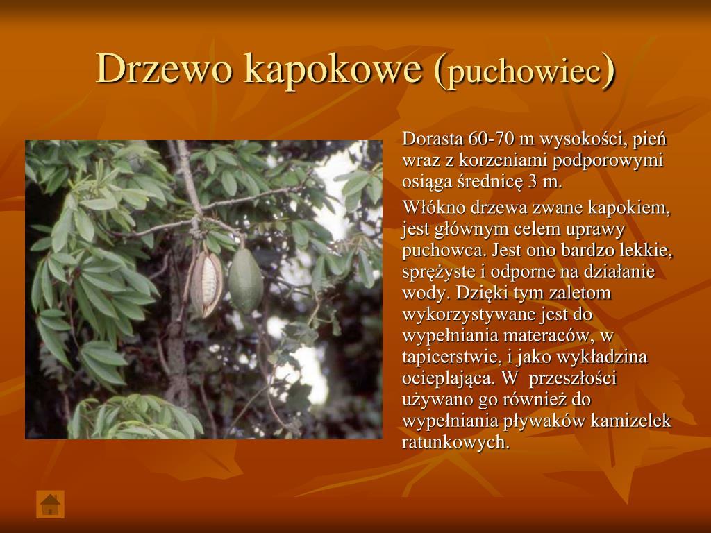 Drzewo kapokowe (