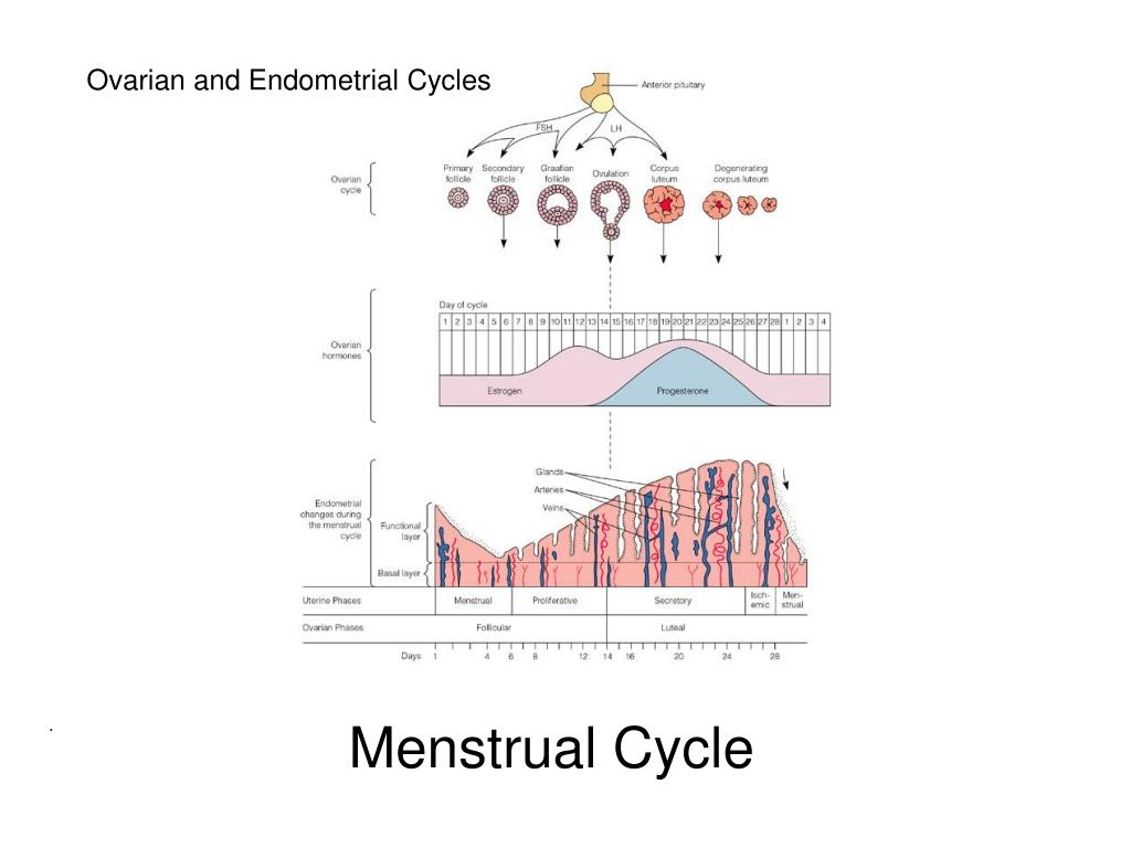 Ovarian and Endometrial Cycles