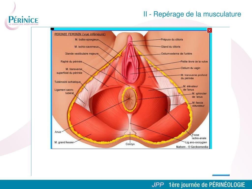 II - Repérage de la musculature
