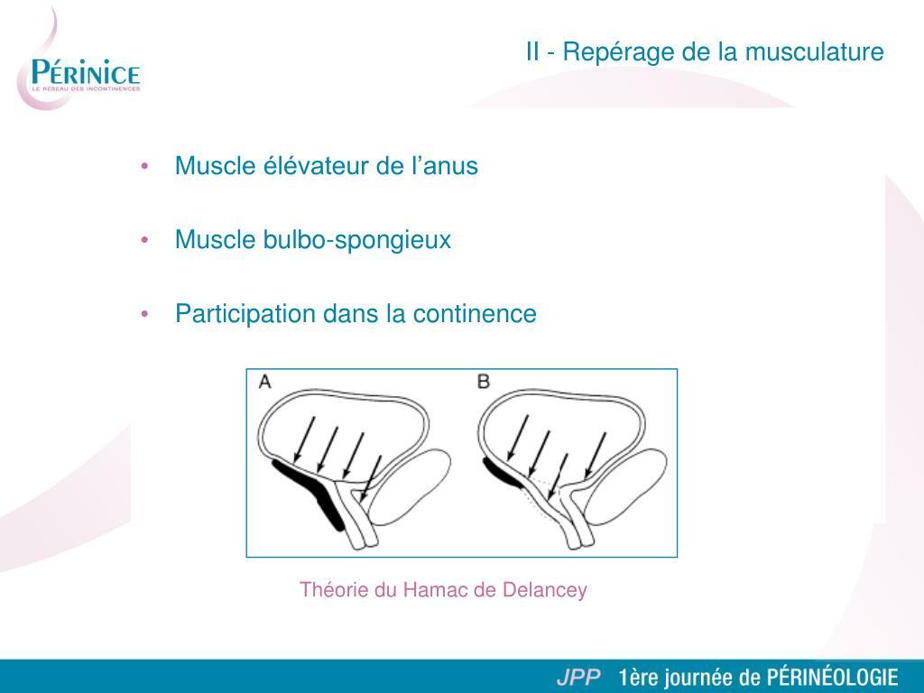 Muscle élévateur de l'anus