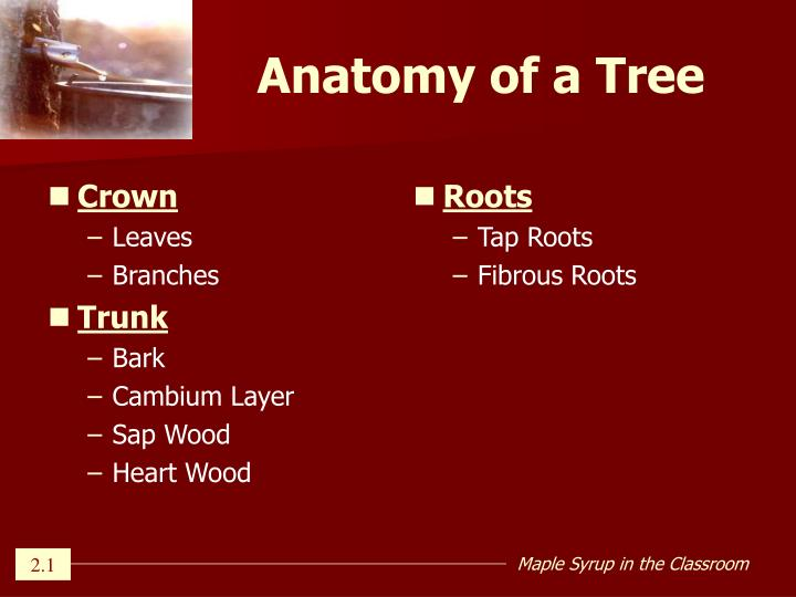 Ppt Lesson 2 Tree Anatomy Powerpoint Presentation Id433938