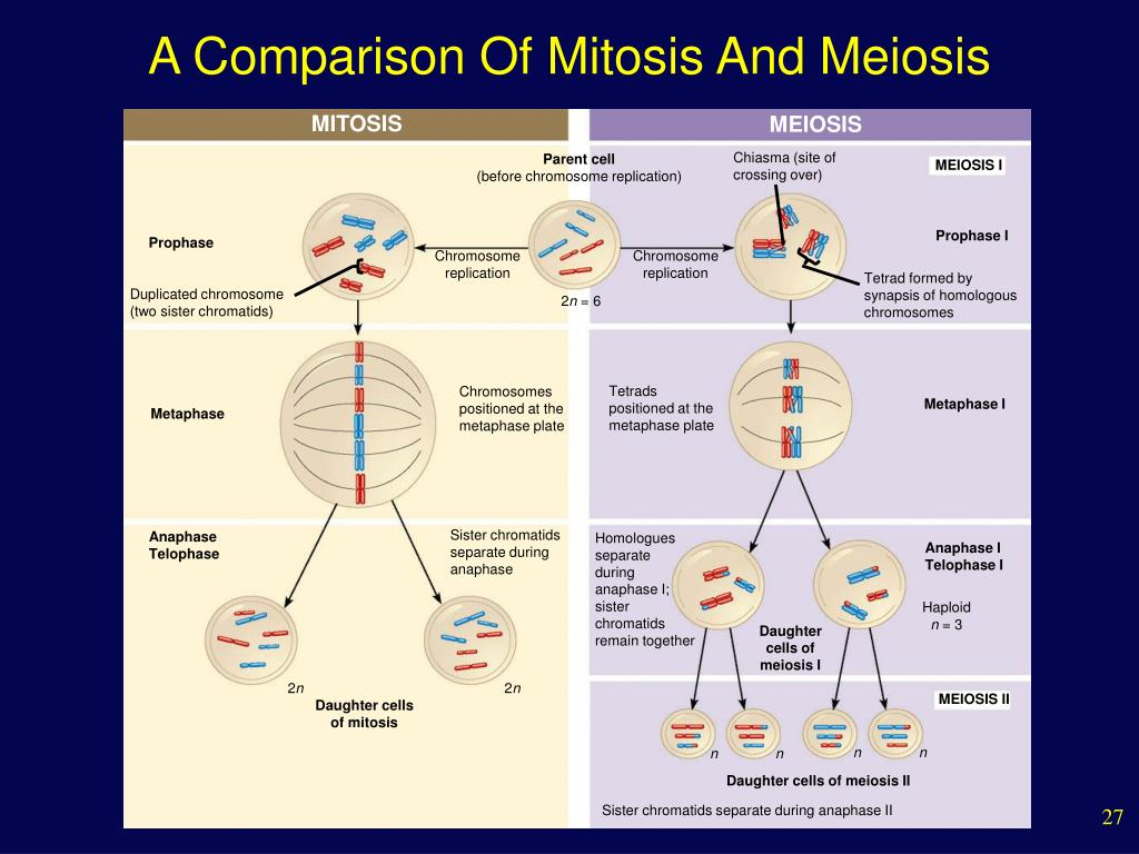 mitosis and meosis 117 lab 9 – eukaryotic cell division: mitosis and meiosis name: _____ section: _____ objectives 1 identify plant and animal cells in each stage of mitosis.
